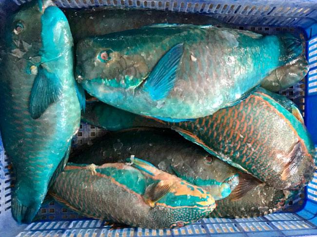 Frozen Parrotfish WR/WG/WGS